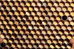 Pollen Storage Cells, Honey Bee, Apis mellifera, Kent UK, on hive frame
