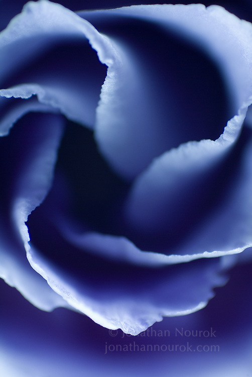 close-up of a lisianthus flower