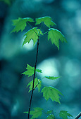 Red Maple - Acer rubrum,  leaves in the Upper Peninsula of Michigan.