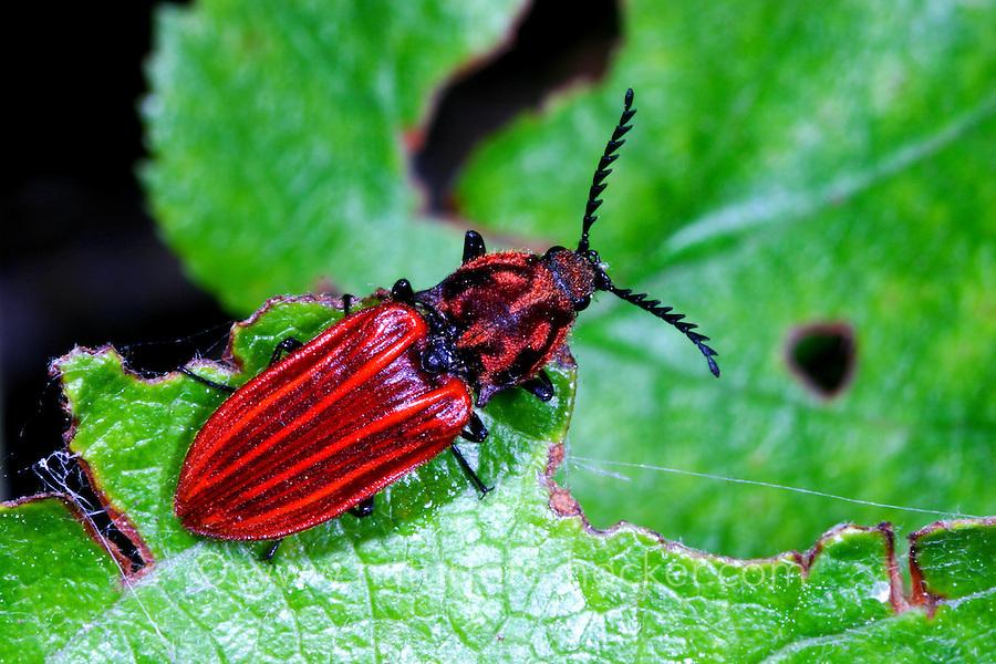 Purpurroter Schnellkäfer, Anostirus purpureus, Click Beetle, Schnellkäfer, Elateridae, Click beetles