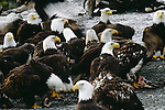 Bald eagles feeding, Chilkat River, Alaska