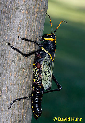0913-0805  Adult Horse Lubber Grasshopper - Taeniopoda eques © David Kuhn/Dwight Kuhn Photography.