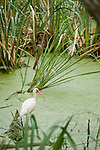 Columbia Ranch, Brazoria County, Damon, Texas; an adult White ibis (Eudocimus albus) bird fishes in the slough amongst the reeds