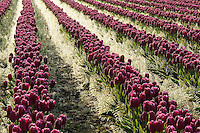 Rows of purple tulips at sunrise, Skagit Valley, Mount Vernon, Washington