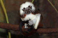 Cotton Top Tamarin (Saguinus oedipus) adult sitting on branch. Captivity.