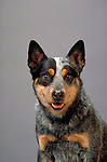 Australian Cattledog Australian Cattledog<br />