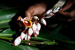 PEMBA, TANZANIA - DECEMBER 6 : A farmer holds the flowers of a vanilla tree on December 6, 2010 on Pemba, Tanzania. Pemba is known for its spices (Photo by: Per-Anders Pettersson)