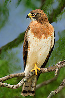 542400017 a light morph color phase adult swainsons hawk buteo swainsonii perches in a mesquite tree on a private ranch in the rio grande valley of south texas