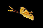Comet Moth, Argema mittrei, male, in flight, free flying, high speed photographic technique, yellow, long tails.Madagascar....