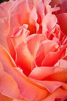 Hybrid Tea Rose (Rosa ) 'Chicago Peace' rose flower.