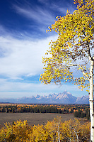 Buffalo Ridge, Golden Aspen, autumn, sunrise, Grand Teton National Park, Grand Tetons, Jackson Hole, Wyoming