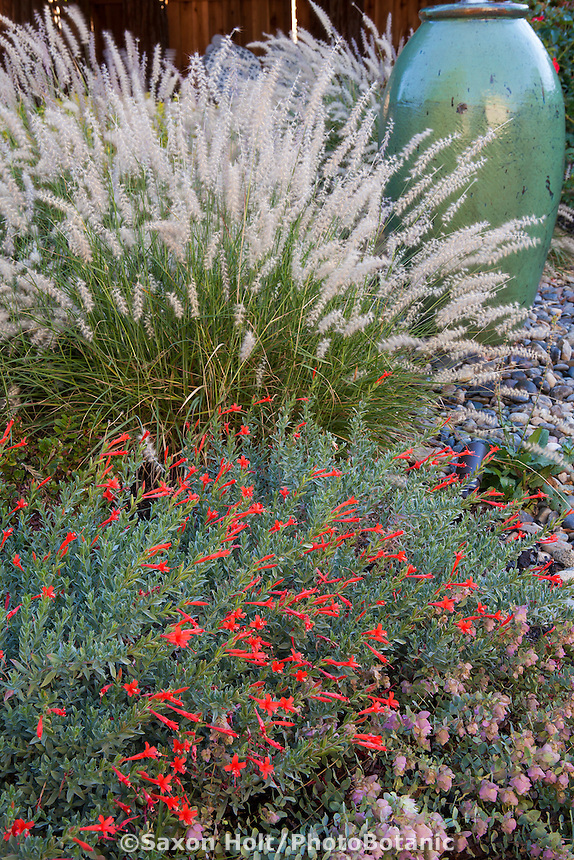 Drought tolerant perennial California Fuchsia with Pennisetum grass and flowering ornamental oregano in Lundstrom Garden, design by Susan Morrison