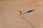 Aerial of a solitary camel crossing a claypan in the Simpson Desert Regional Reserve. An estimate of 1.5 million wild camels roam the desert outback of Australia.
