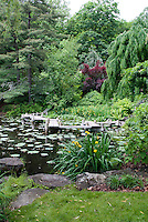 Water garden pond with boardwalk dock, large clump of marginal water plant Iris pseudacorus (yellow flag, yellow iris, water flag) in bloom
