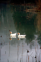 BIRDS<br /> Pair Of White Ducks Swimming On A Lake