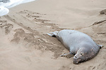 San Simeon, California; a sub-adult male Northern Elephant Seal (Mirounga angustirostris) rests in the sand near the shoreline after emerging from the water, leaving a pattern in the sand behind him