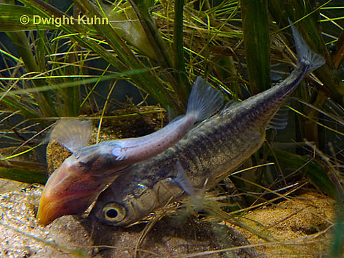 1S53-509z  Threespine Stickleback, male showing gravid female the entrance to his nest, Marine form, Gasterosteus aculeatus