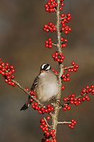 White-crowned Sparrow (Zonotrichia leucophrys), adult perched on Possum Haw Holly (Ilex decidua) berries, Bandera, Hill Country, Texas, USA