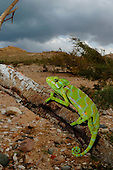 A female Chameleon (Chamaeleo monachus), Socotra, Yemen.
