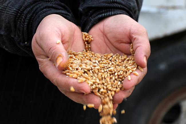 A Palestinian farmer woman harvests wheat by hand on her farm in the village  of Deir Ballout, west of the city of Ramallah, in the Israeli occupied Palestinian West Bank on May 27, 2012.The Palestinian economy is experiencing a serious drop in liquid assets that has worsened since last year due to a reduction in aid from Western and Gulf countries, as well as trade and movement restrictions imposed by Israel, an IMF report said earlier in the year. Photo by Issam Rimawi