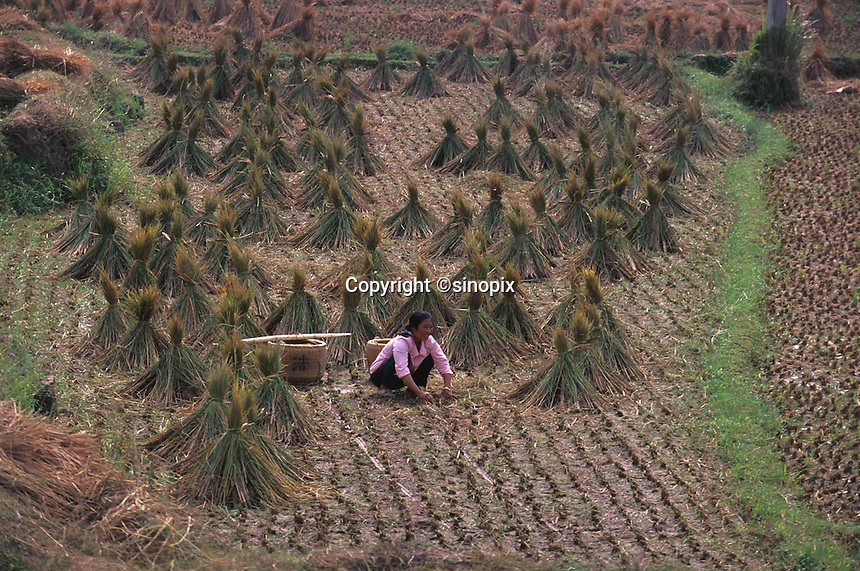 Farmers working in the grain field in Ganzhou, China.