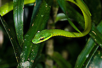 A slithering Giant Parrotsnake (Leptophis ahaetulla) hunting for frogs and frog eggs in the jungle, Bocas del Toro, Colon Island, Panama