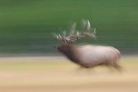 Elk, Wapiti, Cervus elaphus, bull running,  Yellowstone NP,Wyoming, USA