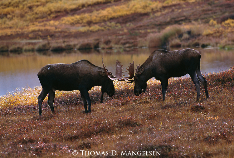 Two bull moose spar in Alaska.