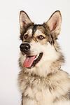 Native American Dog
