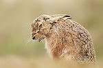 Brown Hare Lepus europaeus sitting in field coughing up hair ball, Suffolk, March