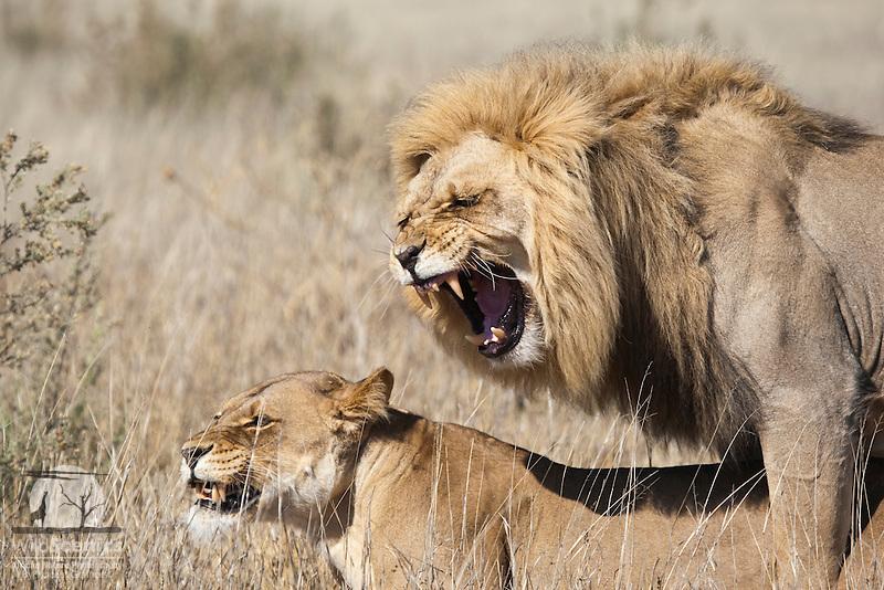 Mating lions | Wild Scenics