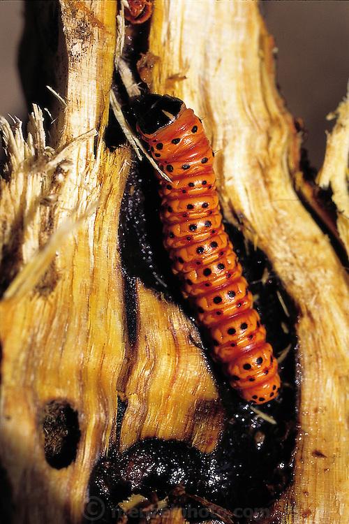 Bugs That Eat Trees Man Eating Bugs