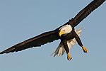 Portrait of a bald eagle flying at Homer, Alaska.