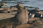 bull elephant seal trumpets in harem