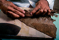 Cuba, March 1992: Steps involved in rolling a cigar. Twisting the poppet (center of the cigar) of the cigar before rolling, In La Corona, The largest Cigar factory in Havana.