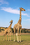 Giraffe (Giraffa camelopardalis) with young, Kgalagadi Transfrontier Park, Northern Cape, South Africa, February 2016