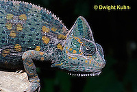 CH51-676z  Female Veiled Chameleon in display color, Chamaeleo calyptratus