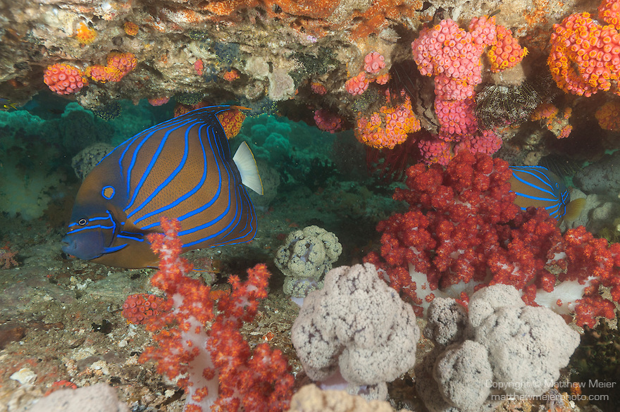 Triton Bay, West Papua, Indonesia; a pair of Blue-ringed Angelfish swimming under a ledge filled with colorful soft corals