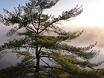 Sunrise nature scenery of an old pitch pine tree on a shore of mist covered lake George. Killarney Provincial Park, Ontario, Canada.