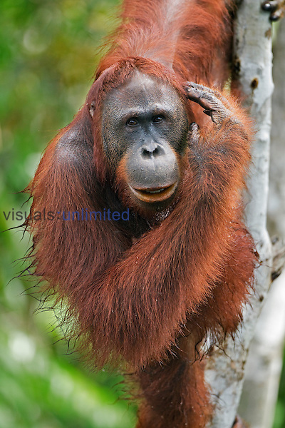 Oman, a sub-adult male Bornean Orangutan (Pongo pygmaeus wurmbii) clinging to a tree, Camp Bulu, Lamandau Nature Reserve, Central Kalimantan, Borneo, Indonesia. Rehabilitated and released (or descended from) since 1998. Portrait taken June 2010.