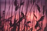 Reeds at Twilight