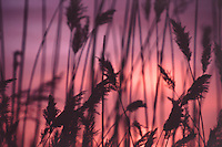 Reeds at Twilight