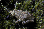 Frogs, Spring Peepers