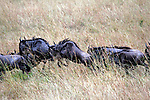 Africa, Kenya, Masai Mara. Wildebeest.