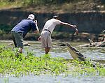 American crocodile, Crocodylus acutus.  A tour guide entertains tourists by feeding crocodiles on the Tarcoles River, Costa Rica