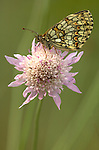Heath Fritillary Butterfly, Mellicta athalia, resting on pink flower, side view of wings, orange and brown colours, Provence.France....