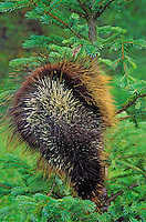 PORCUPINE in spruce tree. Displaying quills to ward off danger..Autumn. Rocky Mountains..(Erethizon dorsatum).