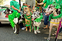 Photography of the Charlotte NC St. Patrick's Day Parade in March 2012. Image shows members of the Great Dane Friends of Ruff Love organization. Photography is part of a series of St. Patrick's Day Parade photos in Charlotte, NC.