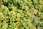 White grape harvest - Balaton vineyards, Hungary