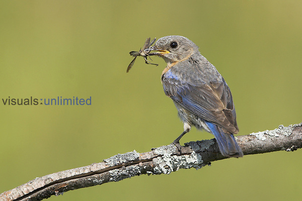 Eastern Bluebird (Sialia sialis) perched on a branch with insect prey in its bill, Ontario, Canada.